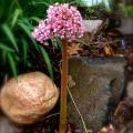 Umbrella Plant Blooming