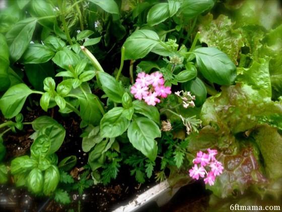 Kitchen Garden Annuals