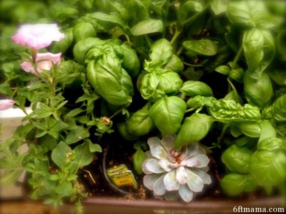 Kitchen Garden Annuals Succulents
