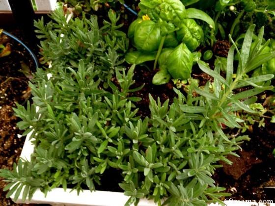 Kitchen Garden Lavender