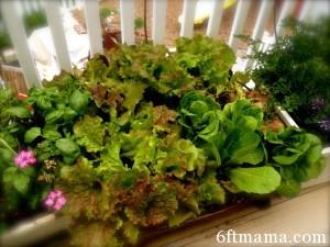Kitchen Garden Lettuce