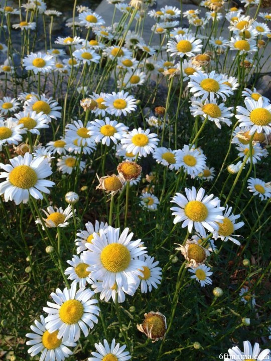 Daisies along the stream bed