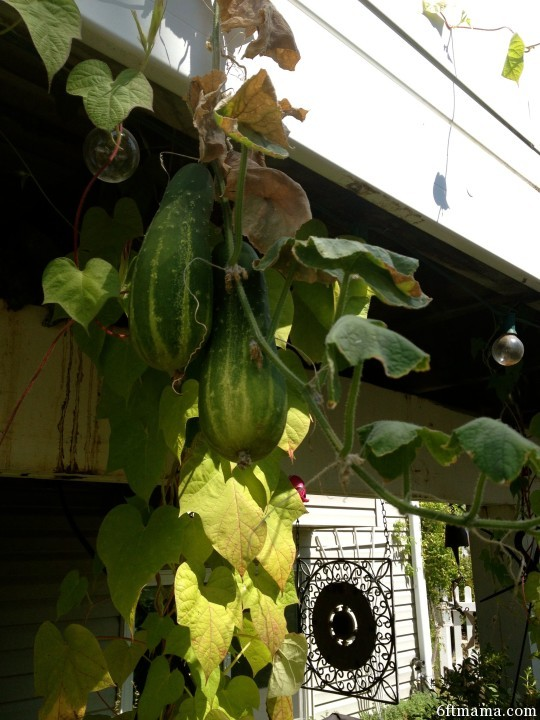 Bush Cucumber