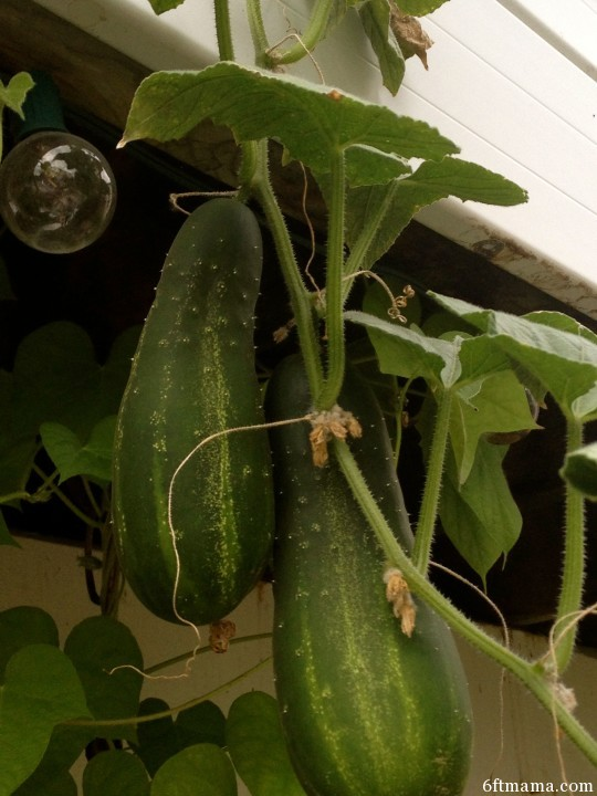 Cucumbers growing down from the deck