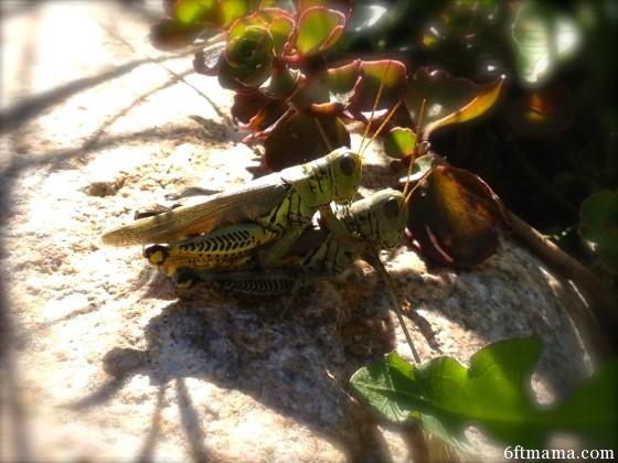 Grasshopper Sex 2