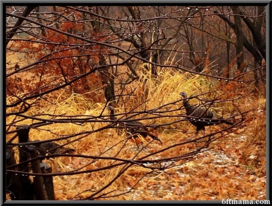 Wild Turkeys 2 6ftmama.com