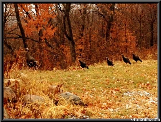 wild turkeys 4 6ftmama.com