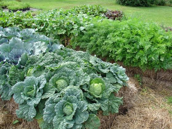 Straw Bale Gardening Glorious Cabbage 6ftmama.com