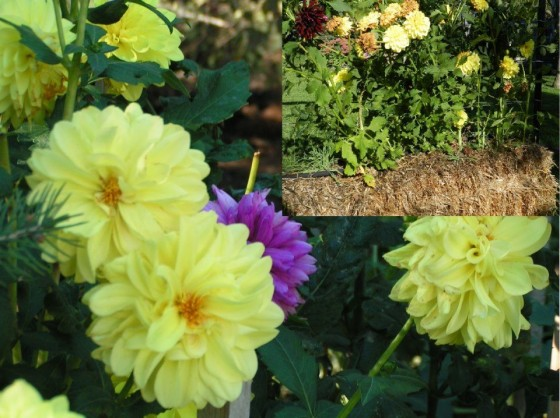Straw Bale Gardening with Bulbs 6ftmama.com