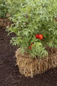 Straw Bale Gardens Shorter Days to Maturity 6ftmama.com