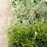 Succulent row 1 6ftmama.com