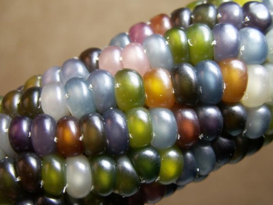 Glass Gem Corn Seeds Trust 6ftmama.com