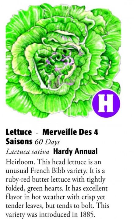 Merveille Des 4 Saisons Lettuce 6ftmama.com