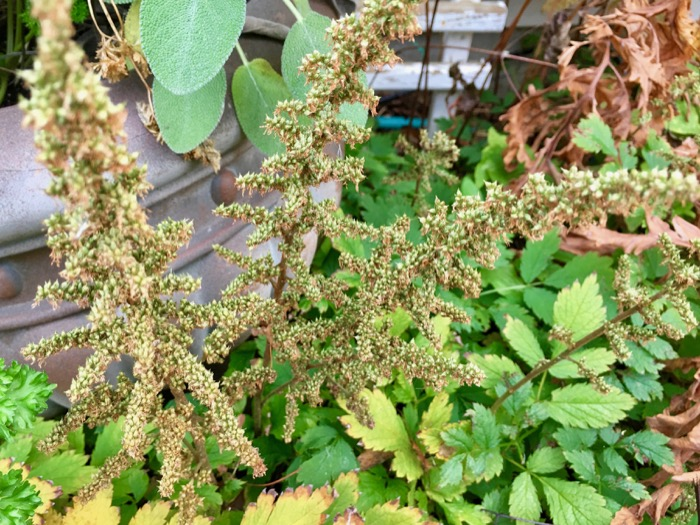 astilbe-bolted-blooms-6ftmama-blog
