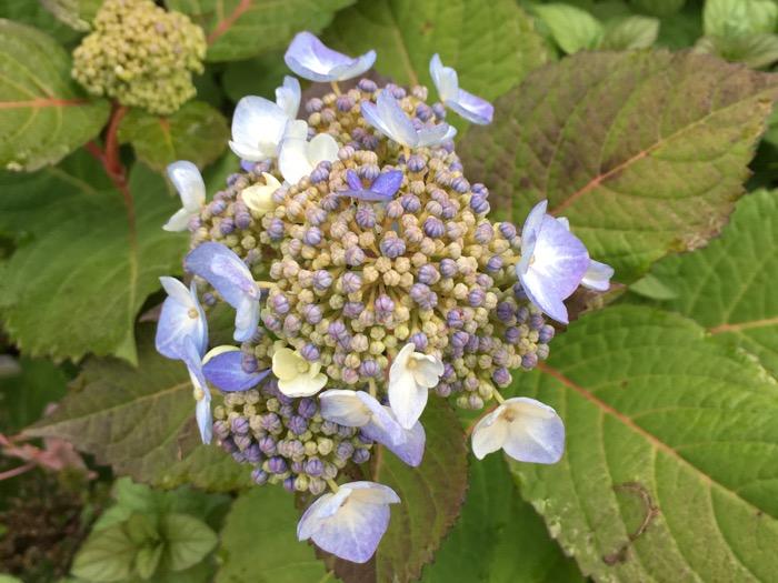 hydrangea-buds-6ftmama-blog