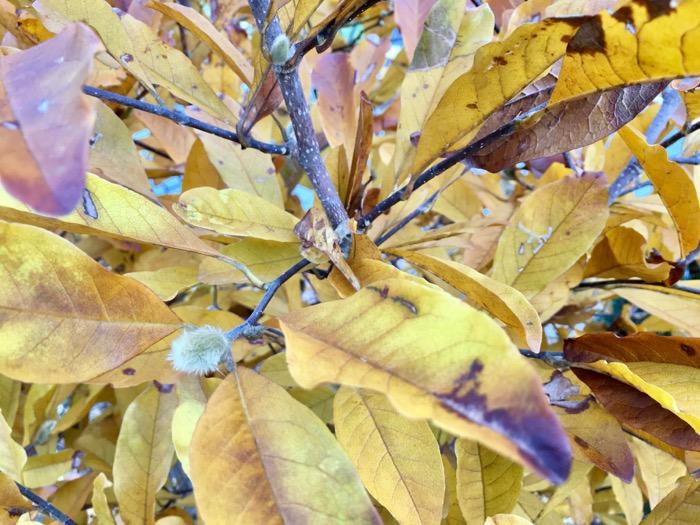 Fall magnolia 6ftmama blog