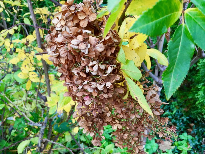 Fall brown hydrangea 6ftmama blog