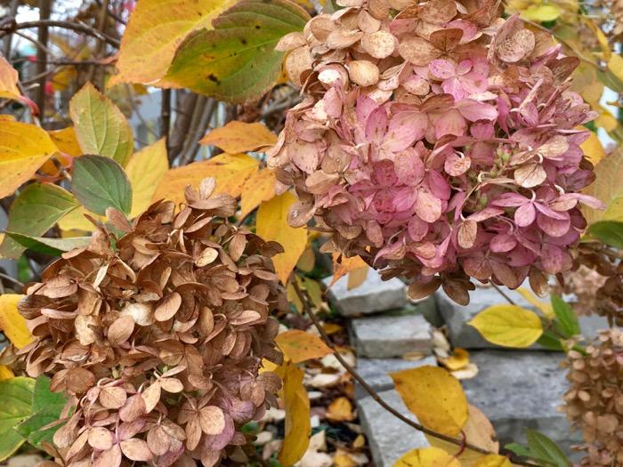 pink-hydrangea-in-hot-fall-6ftmama-blog