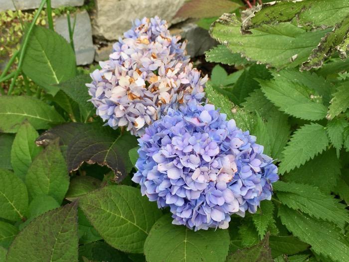 purple-hydrangea-6ftmama-blog