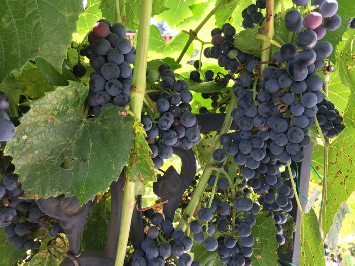 She saw the arbor grapes August 2016 6ftmama blog