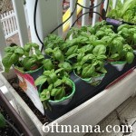 Sweet Basil in the Kitchen Garden