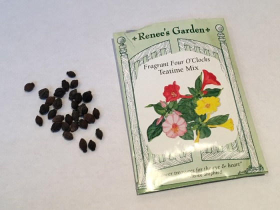 Seed from Four O'Clocks Teatime Mix Renee's Garden