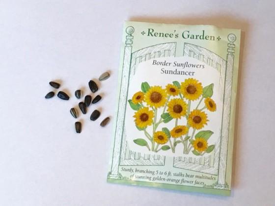 Seed from Sundancer Border Sunflower Renee's Garden