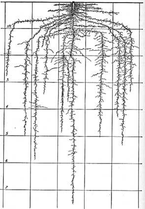 Robert Kourik Understanding Roots John Weaver Root Mapping Carrot Root 7 Feet Deep 6ftmama blog Still Growing Podcast